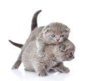 Dos gatitos británicos juguetones del shorthair Aislado en blanco Fotografía de archivo