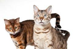 Dos gatitos de Bengala que parecen dados una sacudida eléctrica y el mirar fijamente Foto de archivo