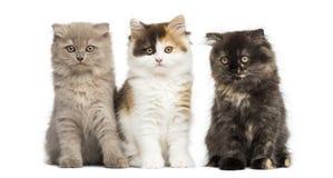 Dos gatitos del doblez de la montaña que juegan junto, aislado Foto de archivo libre de regalías