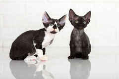 Dos gatitos del rex de Devon Fotografía de archivo