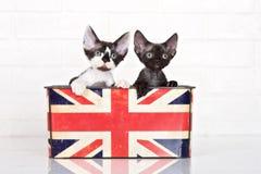 Dos gatitos del rex de Devon en una caja Fotos de archivo libres de regalías