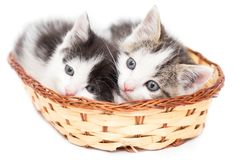 Dos gatitos en una cesta en un fondo blanco Fotografía de archivo