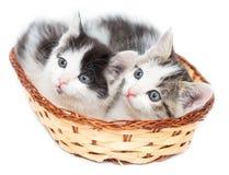 Dos gatitos en una cesta en un fondo blanco Imagenes de archivo
