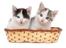 Dos gatitos en una cesta en un fondo blanco Imágenes de archivo libres de regalías