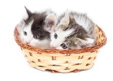Dos gatitos en una cesta en un fondo blanco Fotos de archivo