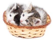 Dos gatitos en una cesta en un fondo blanco Imagen de archivo