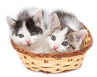 Dos gatitos en una cesta en un fondo blanco Imagen de archivo libre de regalías