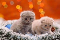 Dos gatitos escoceses divertidos en el fondo brillante Imagen de archivo