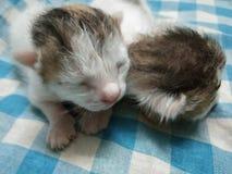 Dos gatitos lindos del bebé junto foto de archivo