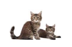 Dos gatitos mullidos Fotografía de archivo