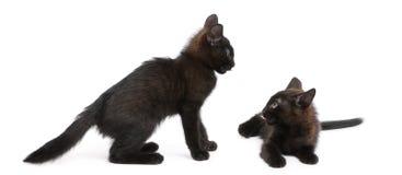 Dos gatitos negros que juegan junto Imágenes de archivo libres de regalías