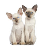 Dos gatitos orientales de Shorthair, 9 semanas de viejo Imágenes de archivo libres de regalías
