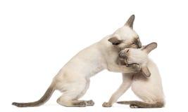 Dos gatitos orientales de Shorthair, 9 semanas de viejo Foto de archivo libre de regalías
