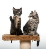 Dos gatitos que se sientan en torre Fotografía de archivo libre de regalías