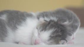 Dos gatitos recién nacidos lindos de la forma de vida duermen trabajo en equipo en la cama concepto de los animales dom?sticos de almacen de metraje de vídeo