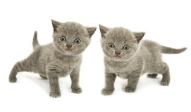 Dos gatitos sobre blanco Foto de archivo libre de regalías