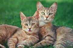 Dos gatos Imagen de archivo libre de regalías