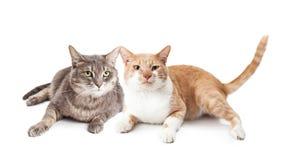 Dos gatos adultos junto en blanco Imagen de archivo libre de regalías