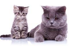 Dos gatos británicos curiosos que miran abajo Imágenes de archivo libres de regalías