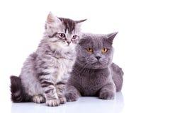 Dos gatos británicos curiosos que miran a una cara Fotos de archivo
