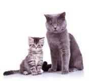 Dos gatos británicos muy curiosos Imagen de archivo