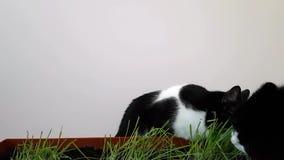 Dos gatos comen la hierba crecida en casa Vegetación fresca para los animales domésticos Avena brotada en casa metrajes