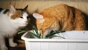 Dos gatos comen la hierba verde fresca metrajes