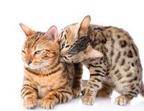 Dos gatos de Bengala (bengalensis de Prionailurus). Foto de archivo