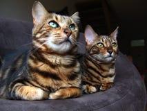 Dos gatos de Bengala que se sientan uno al lado del otro mirando la misma manera Fotos de archivo libres de regalías