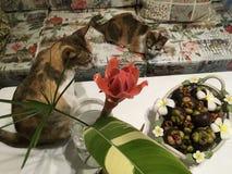 Dos gatos de calicó con la decoración casera tropical - cesta de frutas del florero y del mangostán del jengibre de la antorcha imágenes de archivo libres de regalías