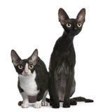 Dos gatos de Cornualles de Rex, 7 meses, sentándose Foto de archivo