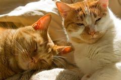 Dos gatos de gato atigrado anaranjados soñolientos Fotos de archivo libres de regalías