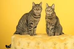 Dos gatos de gato atigrado europeos del shorthair, varón y hembra, sentándose en un soplo amarillo de Chesterfield contra un fond imagen de archivo libre de regalías