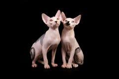 Dos gatos de Sphynx Imagenes de archivo