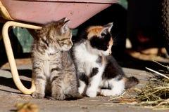 Dos gatos del bebé, gatito lindo Fotografía de archivo libre de regalías