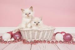 Dos gatos del ragdoll del bebé en una cesta con la decoración rosada de la Navidad Fotografía de archivo libre de regalías