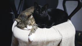 Dos gatos divertidos que mienten en silla en casa metrajes