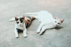 Dos gatos duermen en la superficie de la piel de los gatos del cemento, piel tailandesa del gato Fotografía de archivo libre de regalías