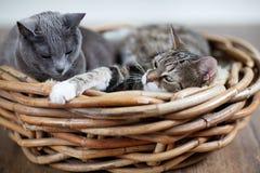 Dos gatos en cesta Foto de archivo