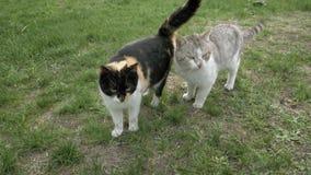 Dos gatos en el amor que toca encariñado blando caminar almacen de video