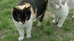 Dos gatos en el amor que toca encariñado blando caminar almacen de metraje de vídeo