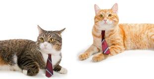 Dos gatos en lazos Fotografía de archivo