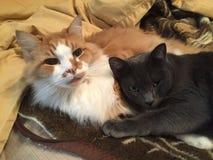 Dos gatos en Tan Blanket Foto de archivo