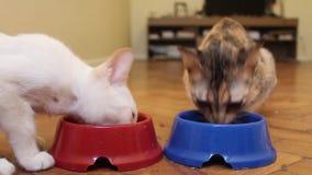 Dos gatos están comiendo de un cuenco Consumición de los gatitos Consumición joven de dos gatos almacen de video