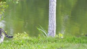 Dos gatos grises en la orilla del lago metrajes