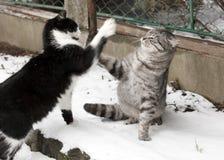 Dos gatos jovenes que luchan Fotos de archivo libres de regalías