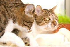 Dos gatos juegan juntos Fotografía de archivo libre de regalías