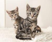 Dos gatos lindos del bebé del gato atigrado que se sientan detrás de uno a en un gris y Foto de archivo libre de regalías