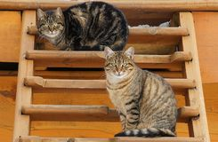 Dos gatos lindos hermosos Fotos de archivo libres de regalías