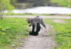 Dos gatos lindos que se divierten que juega en la yarda en la hierba en Fotografía de archivo